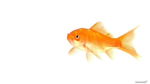 goldfish-white-background-21